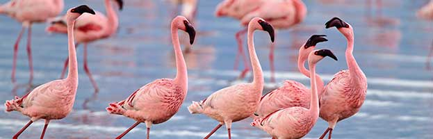 Flamingo Species