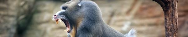 mandrill new world monkey