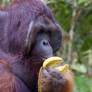 orangutan feeding
