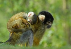 squirrel monkey reproduction facts