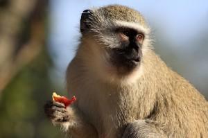 Vervet - Old World monkey