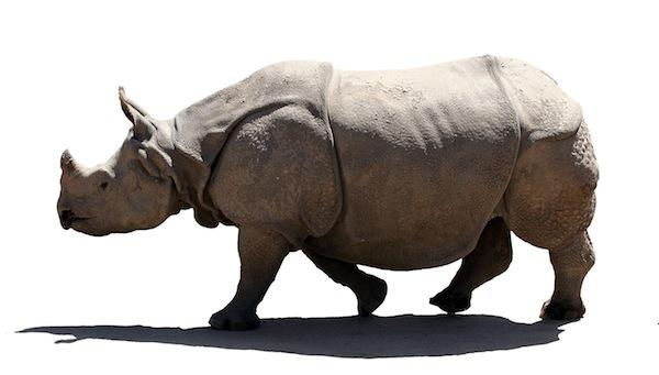 Indian Rhinoceros Facts