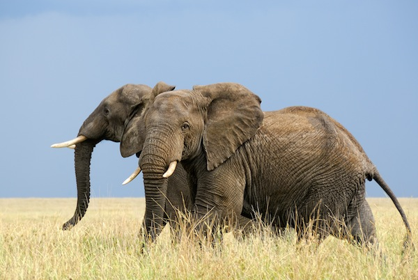 African Elephant Facts and Information