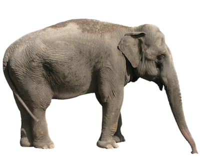 Elephants - Animal Facts and Information