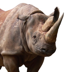 Black_Rhinoceros_facts