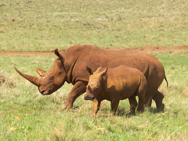 Hook-lipped rhinoceros Facts