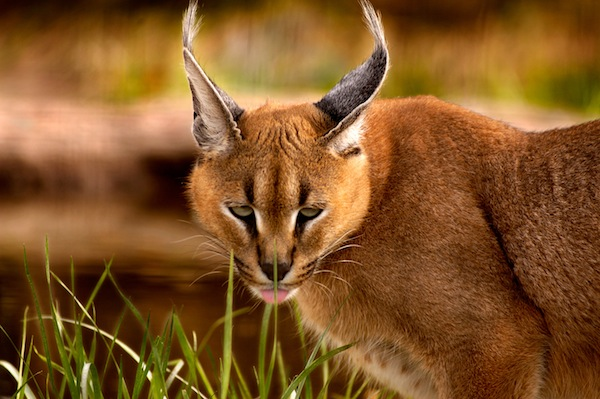 Caracal Facts and Information