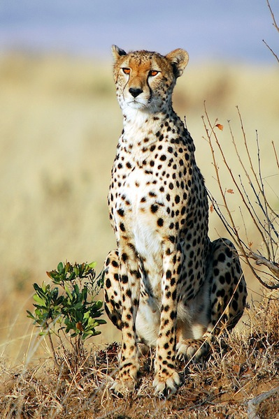 Cheetah in African Savanna