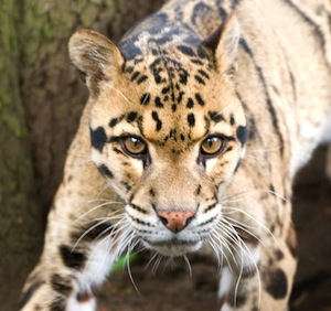 Clouded Leopard_facts