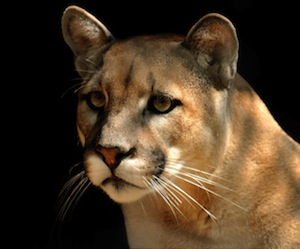 Mountain lion_picture