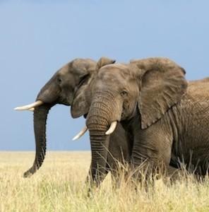 Elephant_distribution