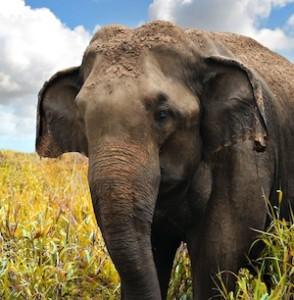 Elephant_physical characteristics