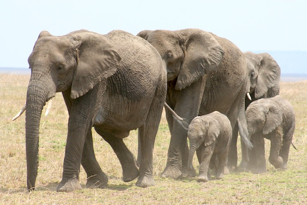 Elephant Habitat and Distribution