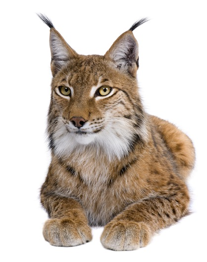 Feline Anatomy Facts