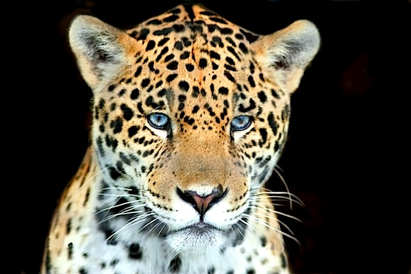 head shot baby jaguar