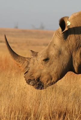 Rhinoceros in natural habitat