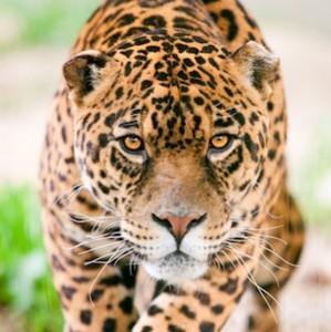 Jaguar_facts