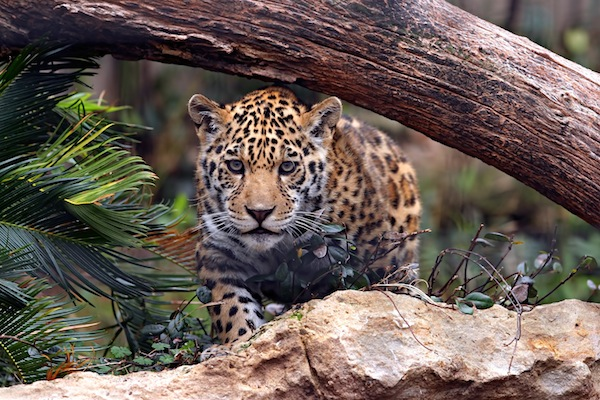 Attractive Jaguar Facts And Information