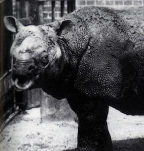 Javan_Rhinoceros_facts