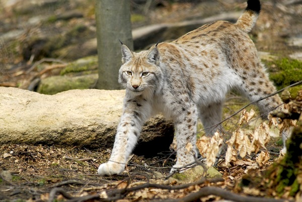Lynx Facts and Information