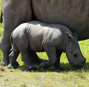 Rhino_reproduction