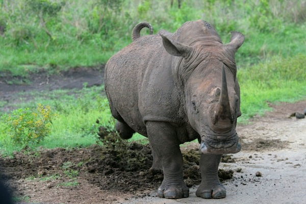 Rhinoceros behavior facts