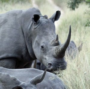 Rhino_evolution_facts