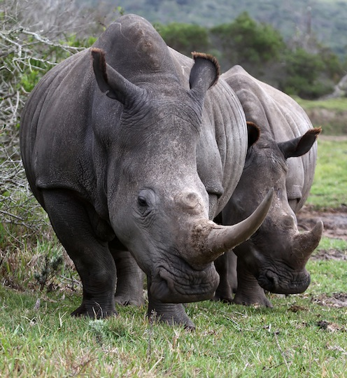 Rhinoceros Species
