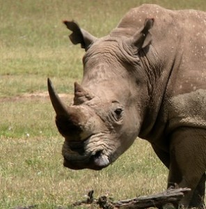 Rhino_facts and information