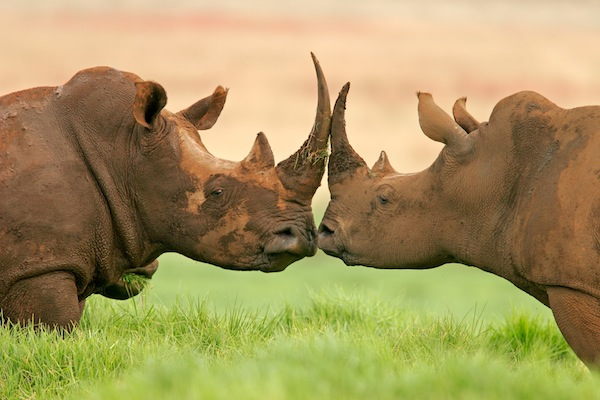 Two White rhinoceros in South Africa