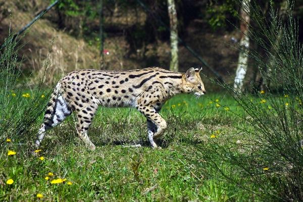 serval walking