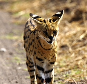 Serval_facts