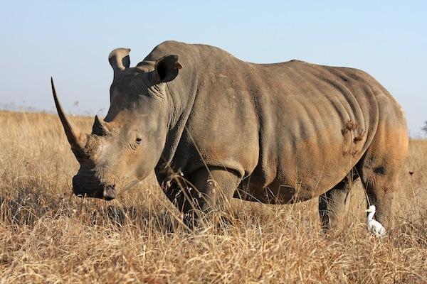 Rhino walking in the field
