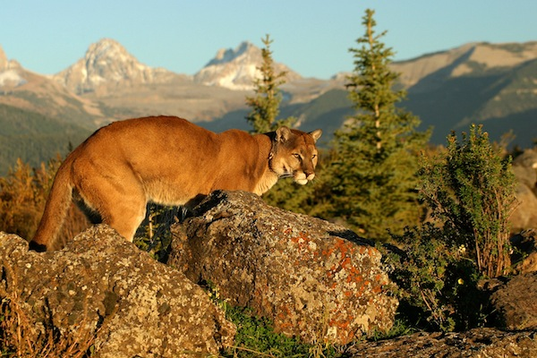 gray mountain cougars personals Also known as catamounts, mountain lions and pumas, cougars are powerful hunters with no natural predators however, the cats do compete with bears, wolves and other predators for food.