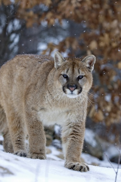 Cougar Facts and information
