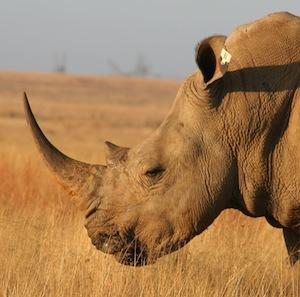 White_rhino_facts