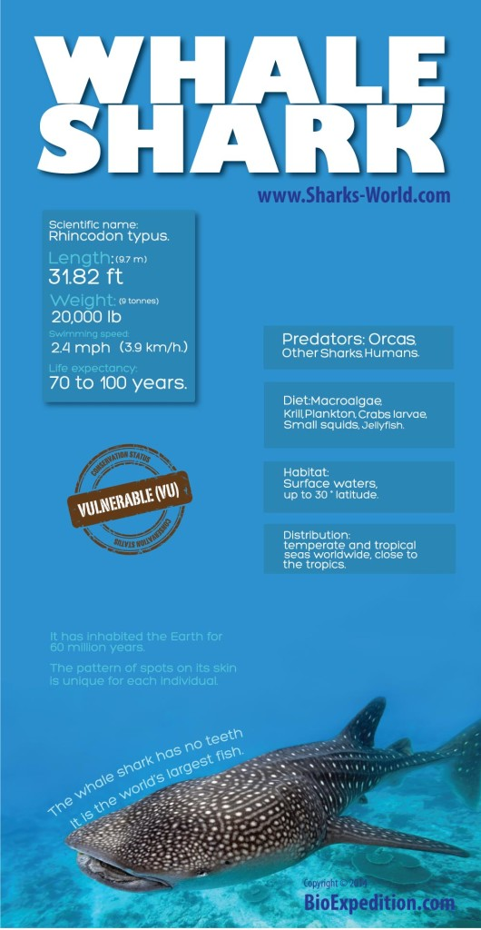 WHALE-SHARK- infographic