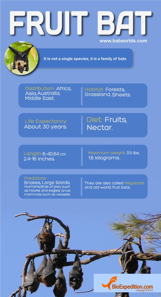 FRUIT_BAT_infographic