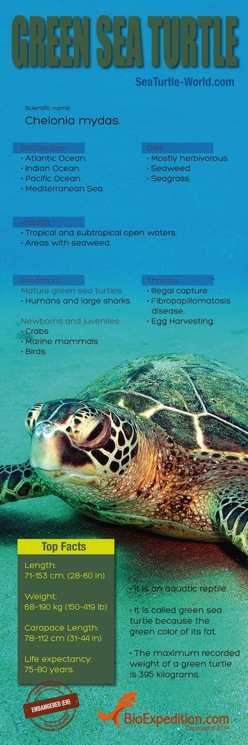 Green_Sea_Turtle copia
