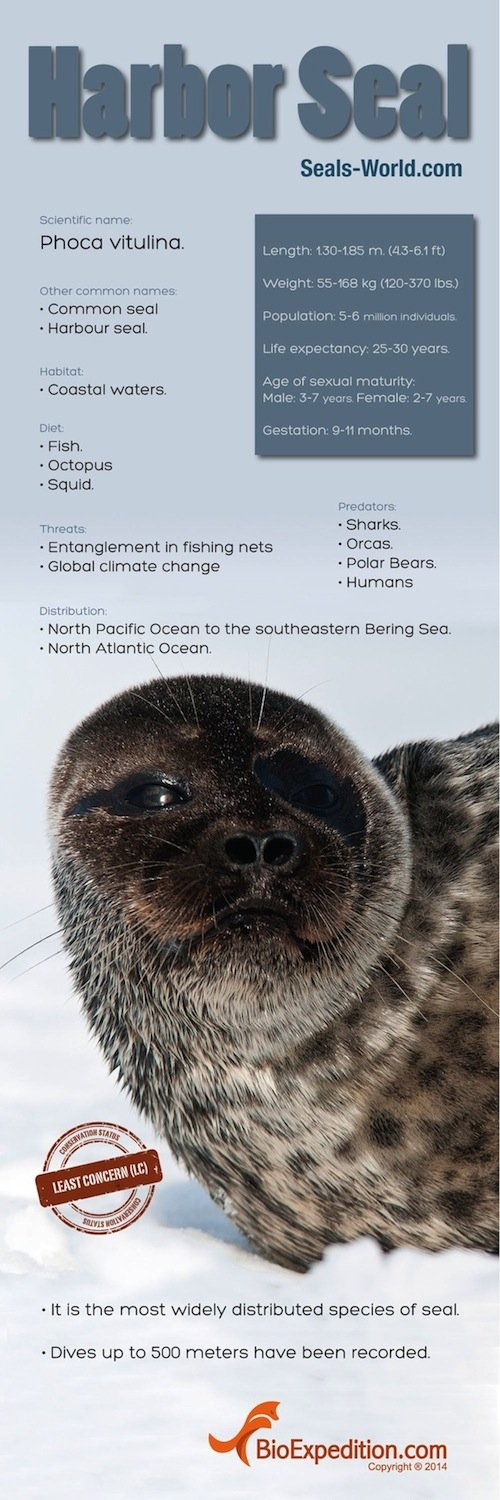 Harbor_Seal copia