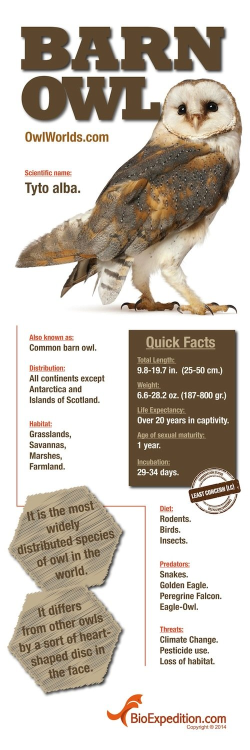 barn_owl_infographic