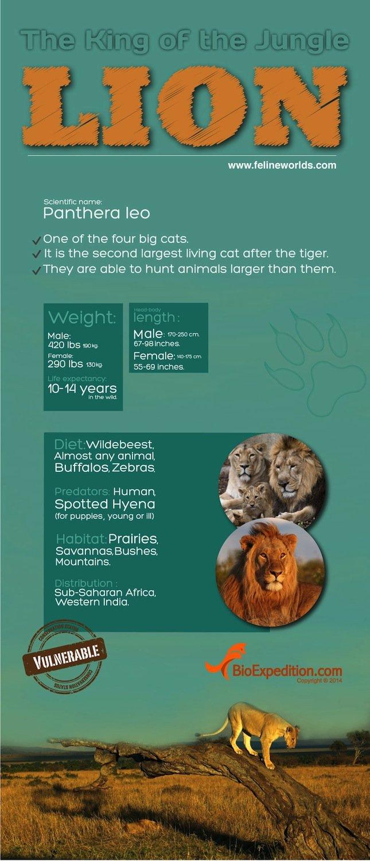 lion copia