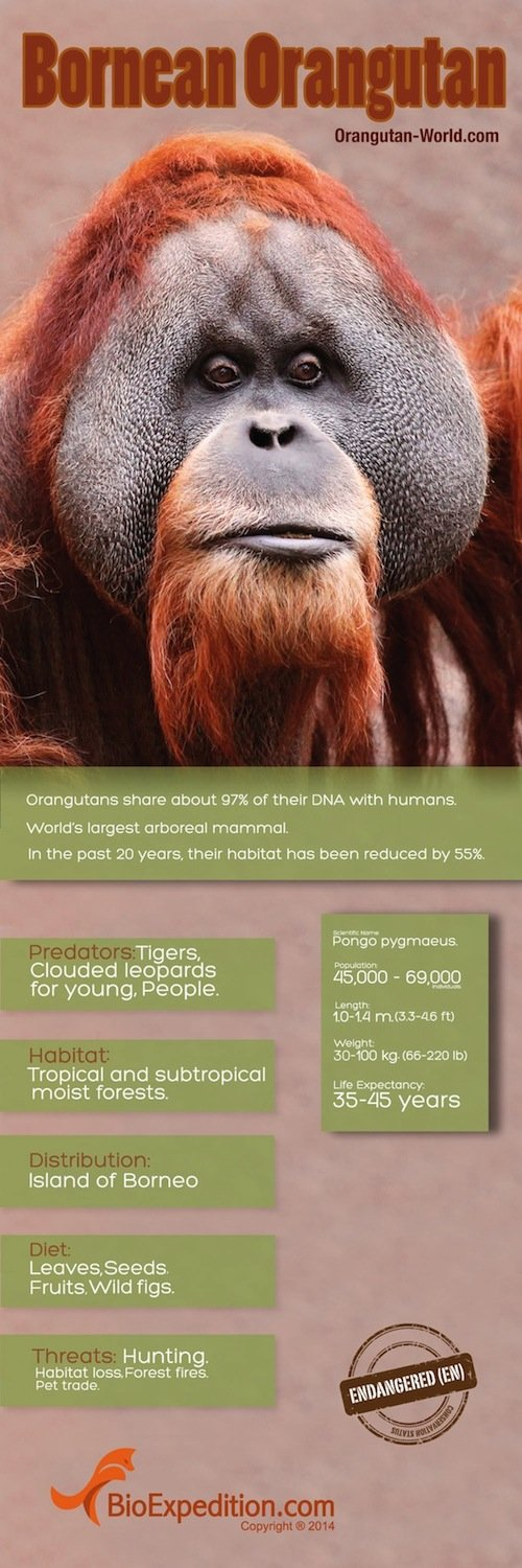 orangutan_world copia