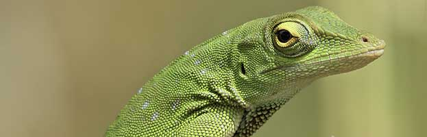 Carolina Anole or Green Anole