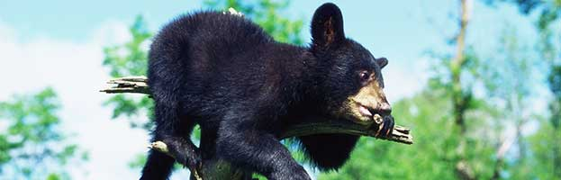 Bear Reproduction