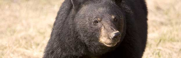 Extinct Bear Species