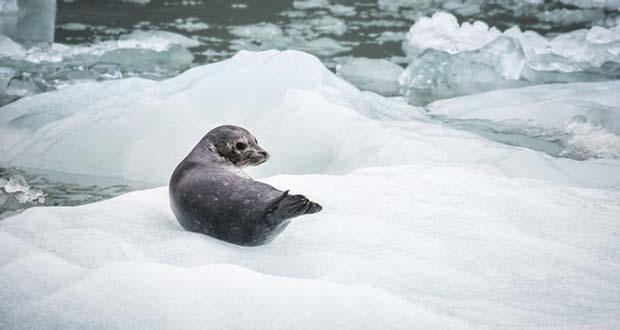 How Long Do Harbor Seals Live?
