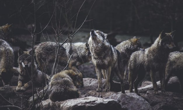 Hunting Techniques Used By Grey Wolves