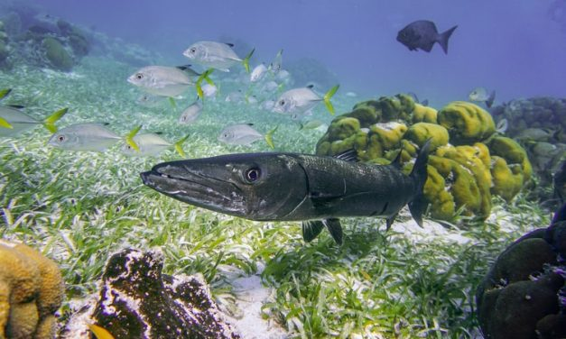 Hunting Characteristics of Barracudas