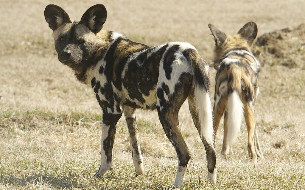 Social Behavior of African Wild Dogs